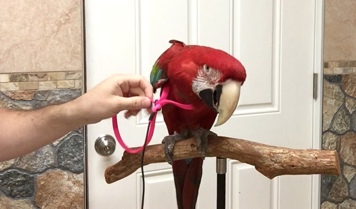 Putting harness on a parrot with one hand