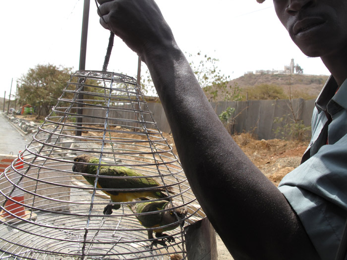 http://trainedparrot.com/photos/africa/wild_senegal_parrots_roadsi.jpg