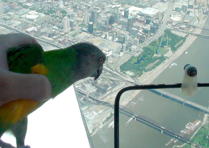 Senegal Parrot Over St Louis