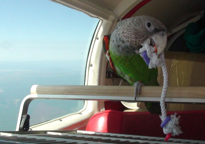 Trained Cape Parrot