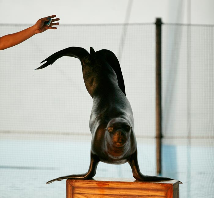 Sea Lion Headstand