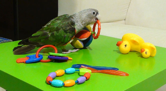 Cape Parrot playing with baby toys