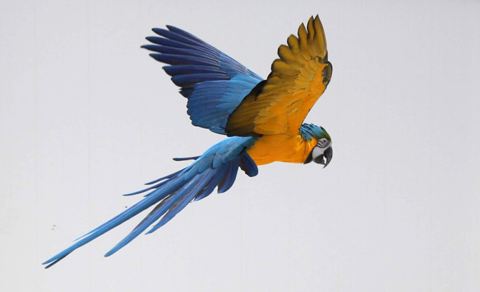 Flying Blue and Gold Macaw