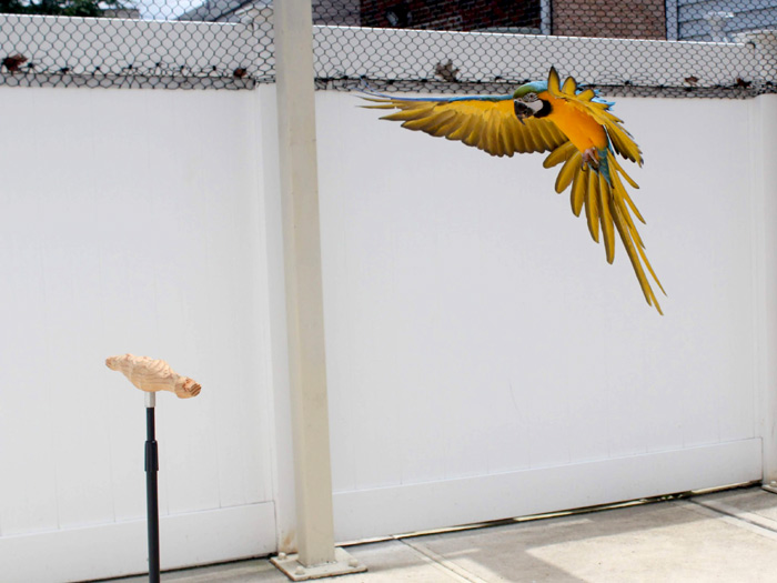 Blue and Gold Macaw Landing on a Training Perch