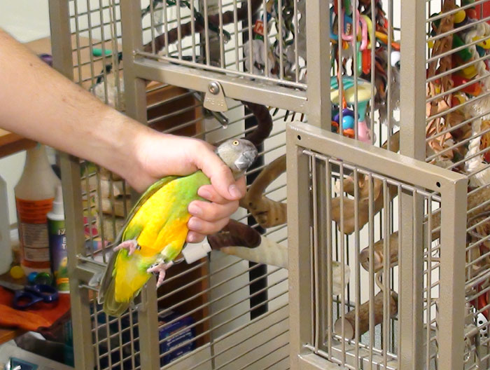 Parrot Being Put Into Cage