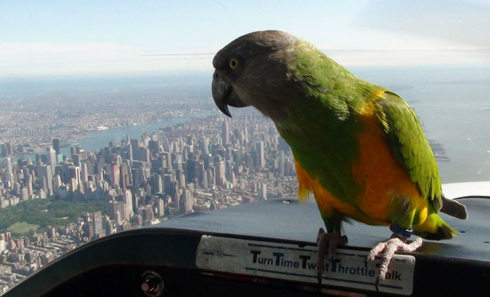 Senegal Parrot over New York City