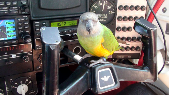 Copilot Senegal Parrot