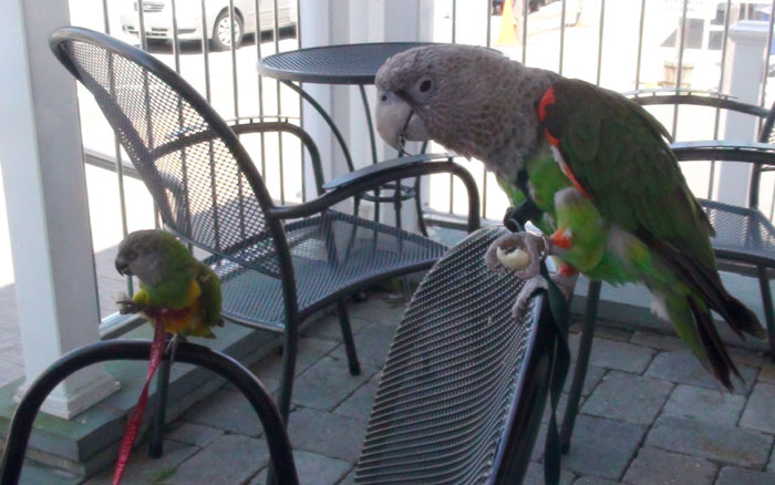 Parrots Eating Oyster Crackers