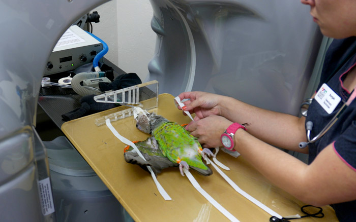 Parrot CT Scan