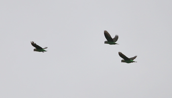 Flock of Cape Parrots