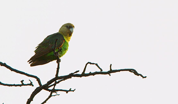 Picture of Cape Parrot