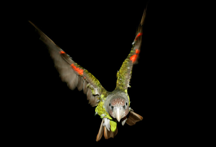 Flying Cape Parrot
