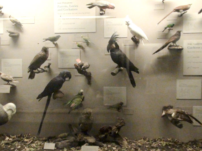 Parrot specimens at field museum