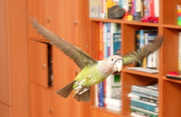 Parrot flying at home