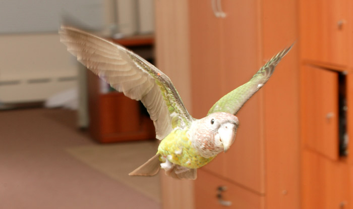 Brown Headed Parrot