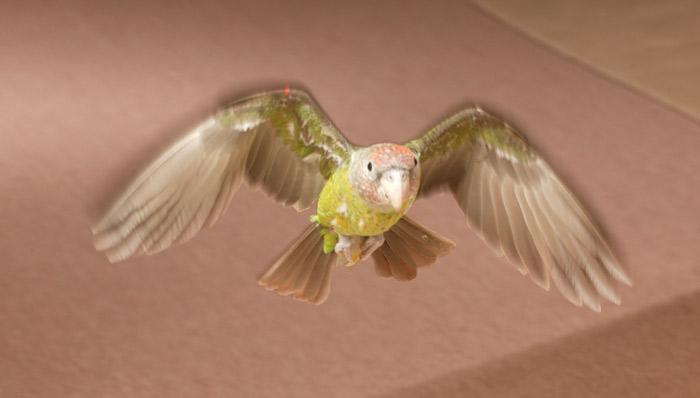 Truman the Cape Parrot