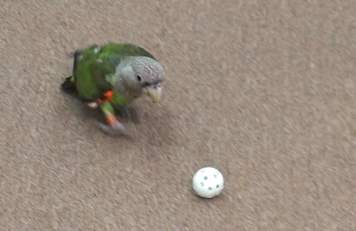 Parrot Fetch Ball