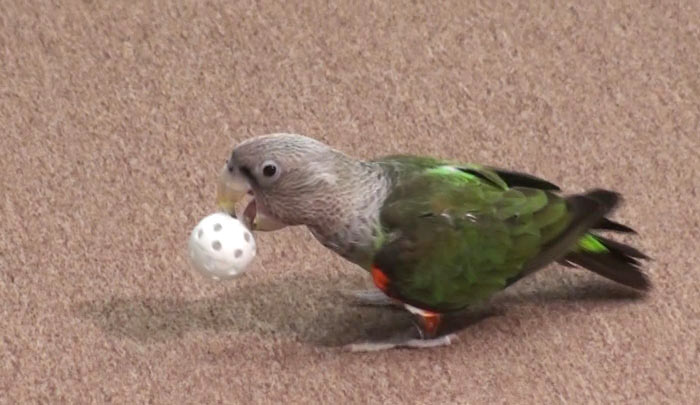 Parrot Retrieve Trick