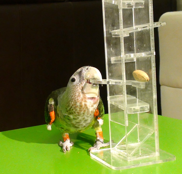 Foraging Tower Cape Parrot
