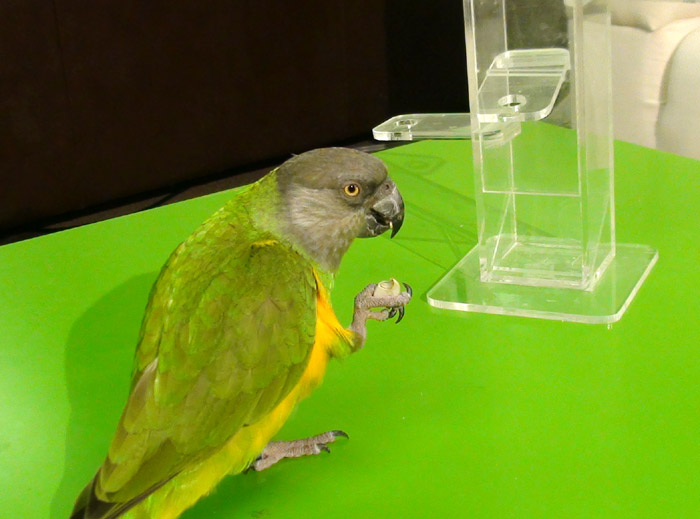 Senegal Parrot Eating Pistachio Nut
