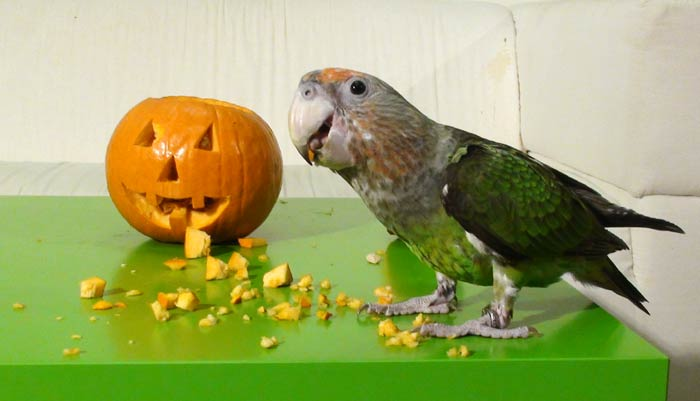 Cape Parrot with Jack o lantern