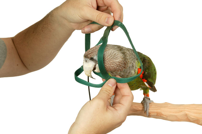 Parrot putting on harness