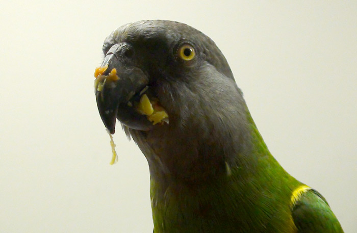 Senegal Parrot Covered in Corn