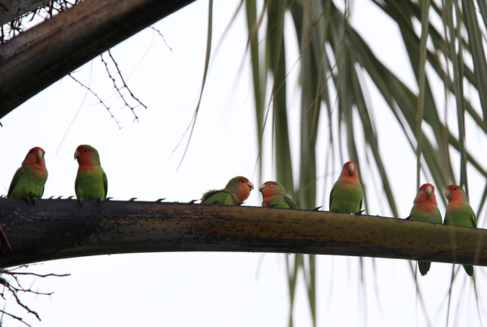 Flock of Peach Faced Lovebirds