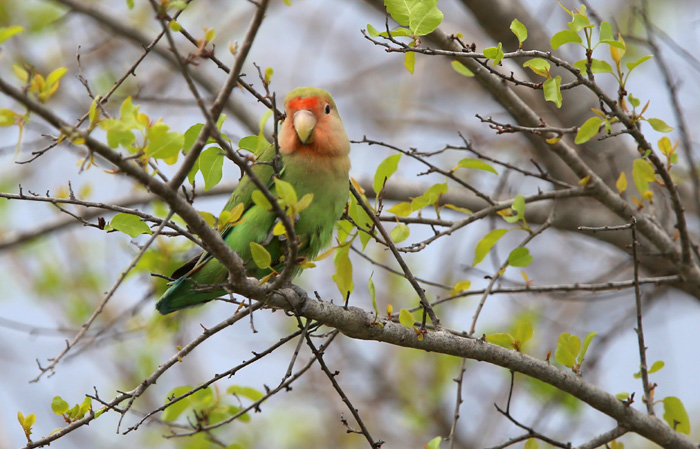 Wild Rosy Faced Lovebirds