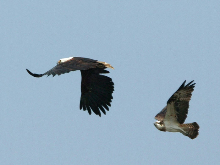 African Fish Eagle being chased by Osprey