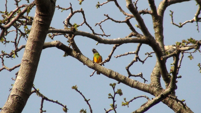 Wild Senegal Parrot in tree