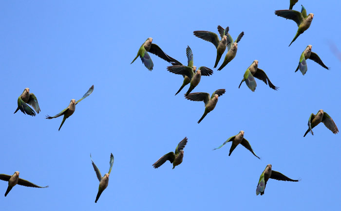 Feral Monk Parakeets Flying