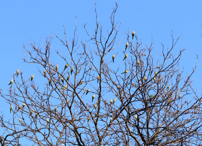 Tree full of Monk Parakeets in Brooklyn