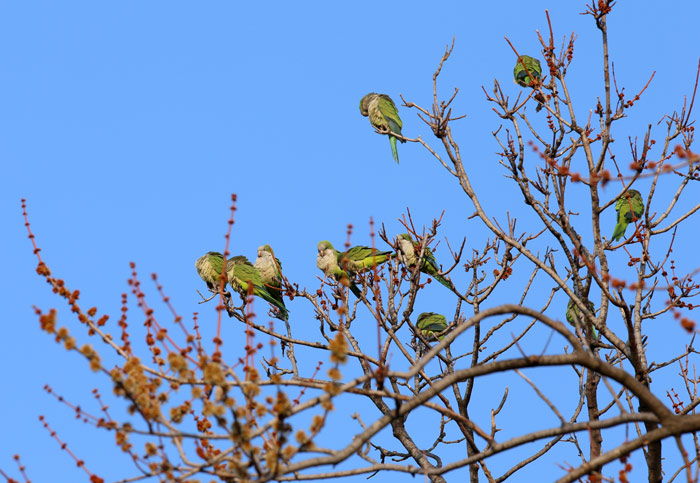 Feral Quaker Parrots in Brooklyn Tree