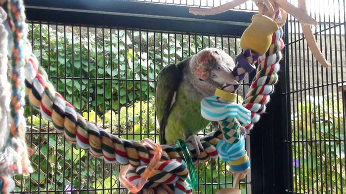 Cape Parrot with toy