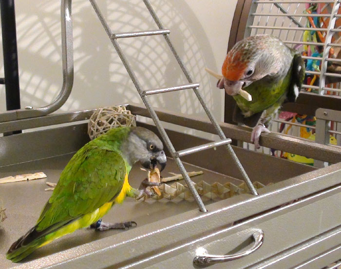Parrots out of cage