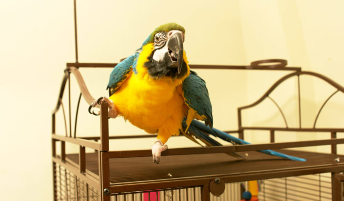 Blue and Gold Macaw on top of cage