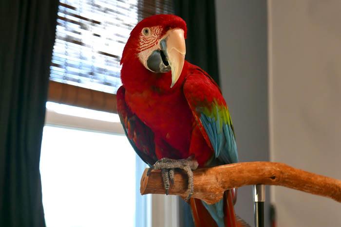 Santina Macaw