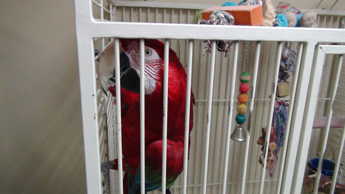 Caged Green-Winged Macaw