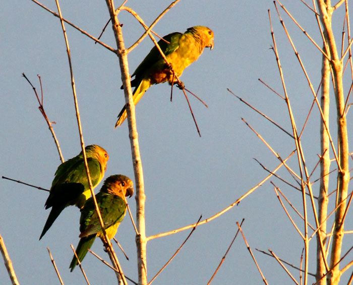 Wild Brown Throated Conures