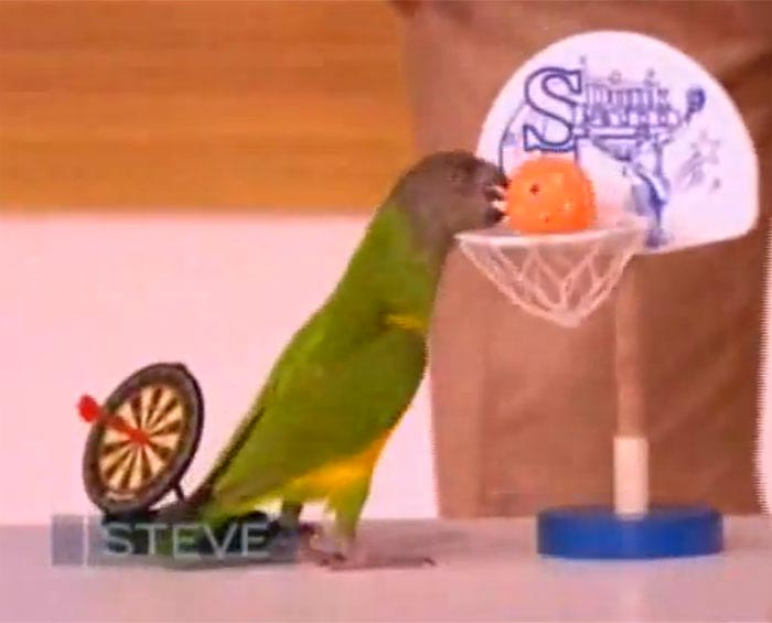 Parrot Basketball on Steve Harvey Show