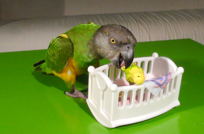 Senegal Parrot putting baby parrot to bed