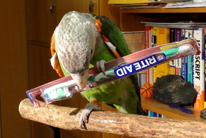 Cape Parrot Truman