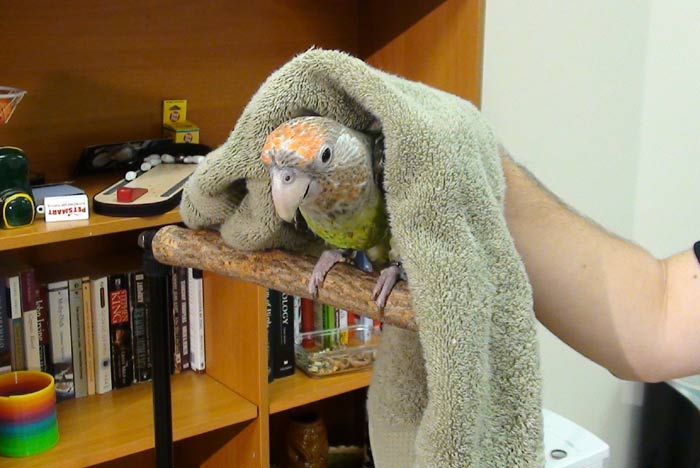 Parrot in Towel