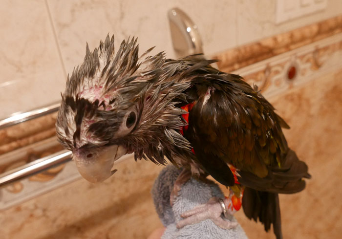 Soaked Parrot