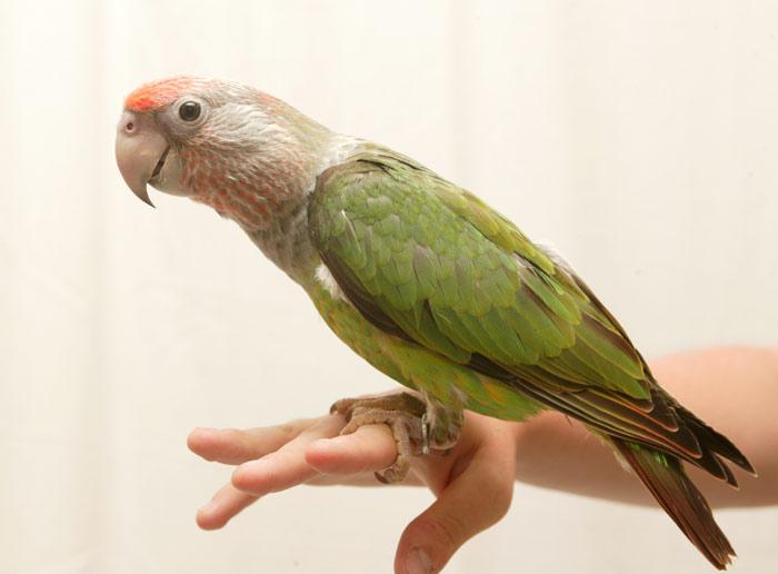 Baby Cape Parrot