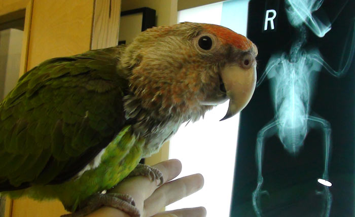 Cape Parrot with xray